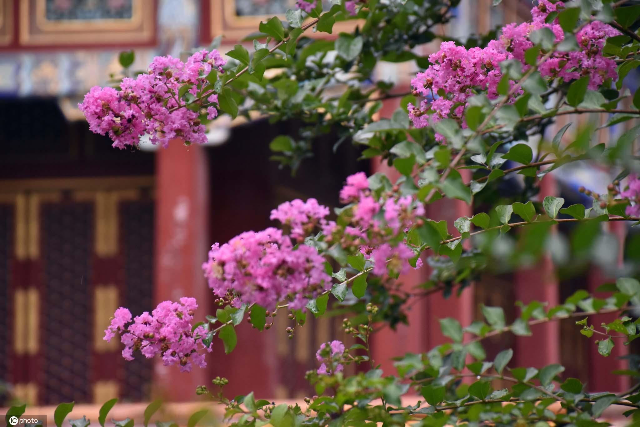 小暑临近北京北海公园紫薇花开香气扑鼻令人陶醉
