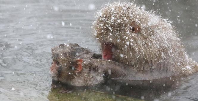 日本長野:雪猴愜意享溫泉