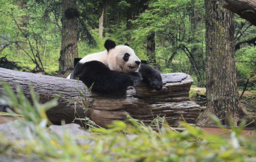 皇冠足球:旅日大熊猫搬新家:重现四川自然风光 日媒称促进滋生 第1张