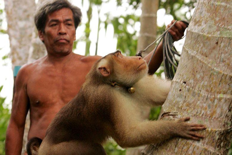 """px111.net:椰奶遭英零售商克制入口,泰国称已经不用""""仆从猴子""""摘椰子"""