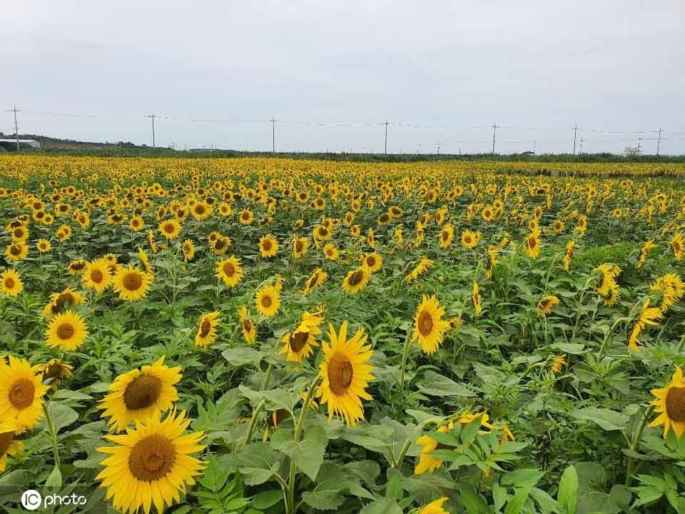 韩国全罗南道向日葵盛放吸引游人观赏拍照