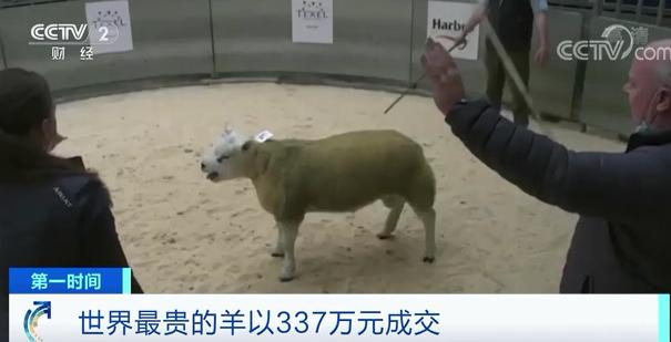 皇冠app怎么下载:世界上最贵的羊诞生了!卖出337万元!为啥这么贵? 第2张