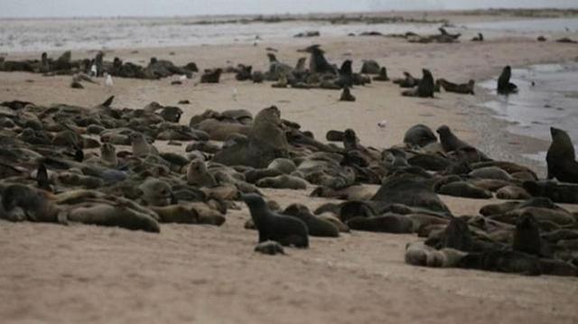 纳米比亚海岸惊现7000多具海豹遗体,大量幼崽胎死腹中 第3张