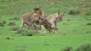 """两狮子与羚羊""""玩""""20分钟后将其吃掉疑要引羚羊妈妈入陷阱"""