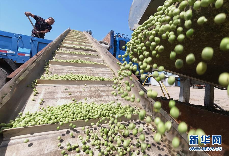 河北滦南:豌豆种植促增收