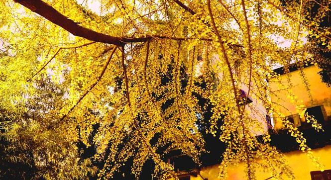 苏州:夜灯下 银杏更显金黄璀璨