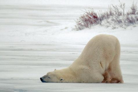 加拿大一北极熊撅屁股动作滑稽像极了赖床的你