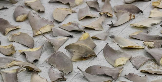 美国海关查货鲨鱼鳍 铺满一地重达635公斤