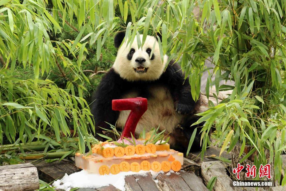 """旅德大熊猫""""梦梦""""在柏林度过七岁生日"""