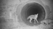 郊狼在涵洞前等待好伙伴獾一起穿越公路去狩猎