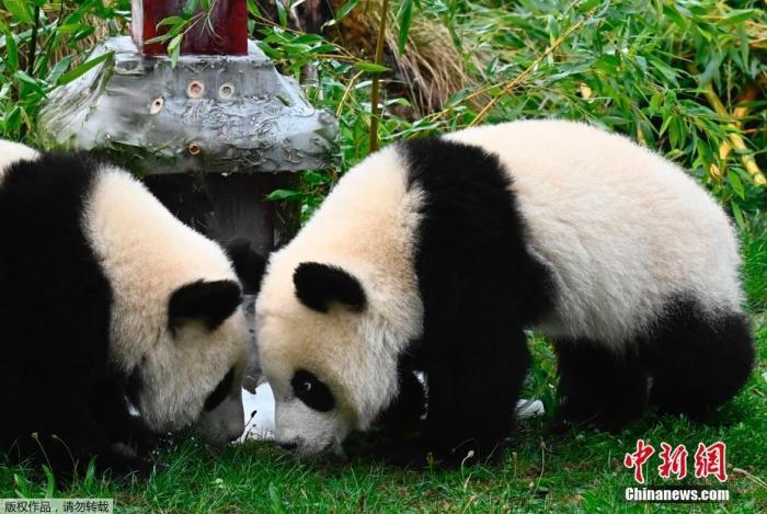 皇冠app怎么下载:旅德大熊猫双胞胎在柏林渡过一周岁生日