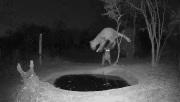 南非一只豹子正喝水时被吓一跳瞬间弹起跳走