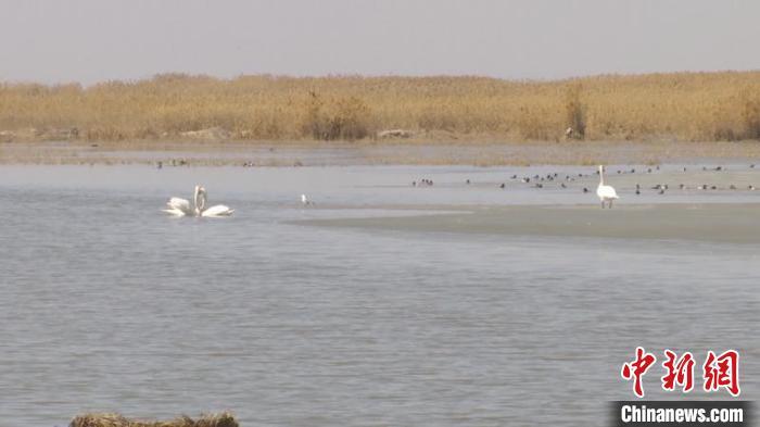 """万只候鸟""""扎堆""""黄河流域最大淡水湖乌梁素海"""