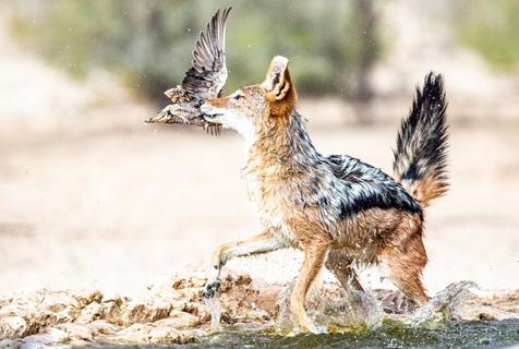 毫无戒心?南非饿豺捕鸟大作战成功捕捉猎物