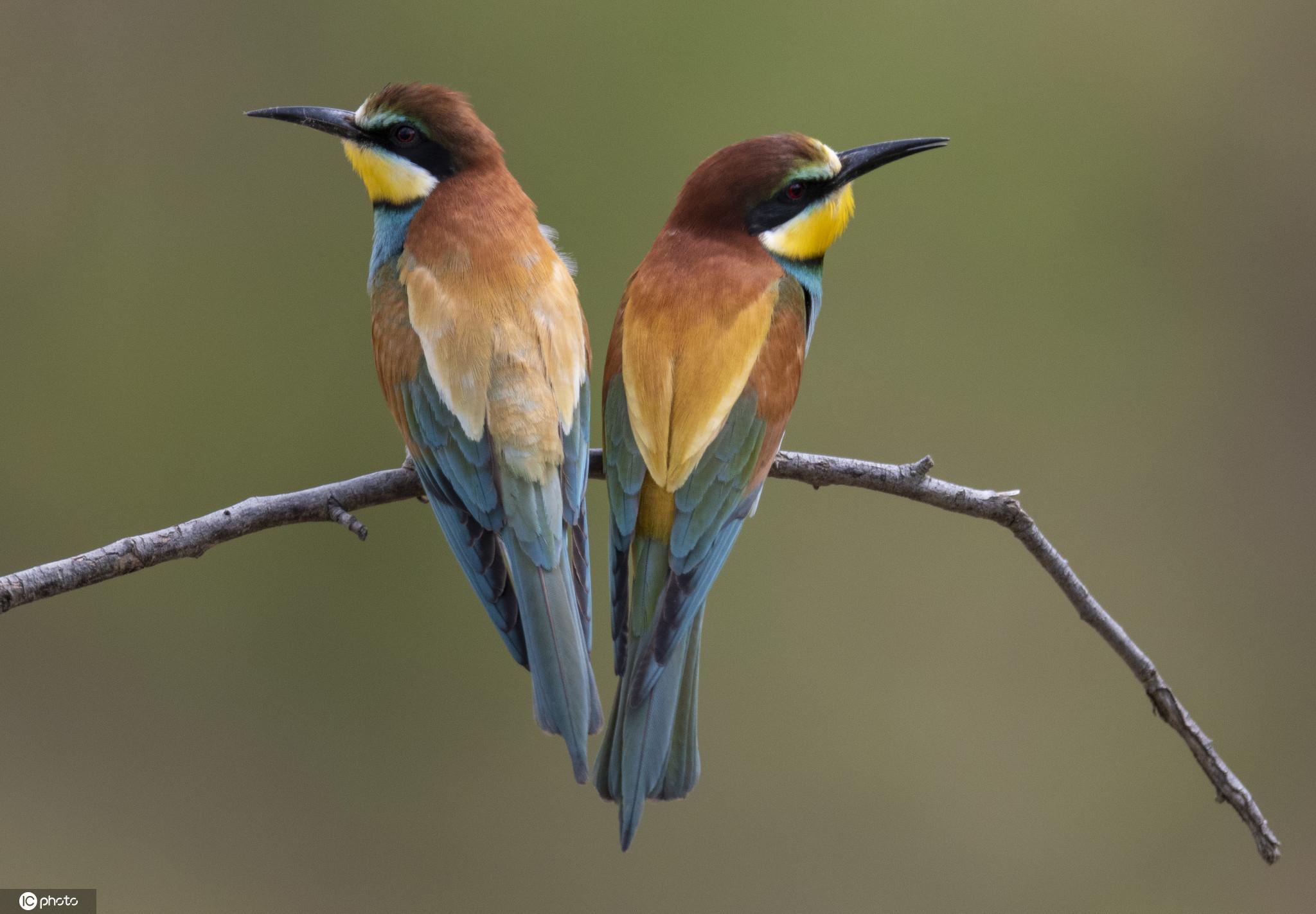 趣味十足!实拍食蜂鸟情侣日常生活