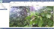 """物联网远程监测无人机高空侦察 扬州林木""""夏虫大作战"""""""