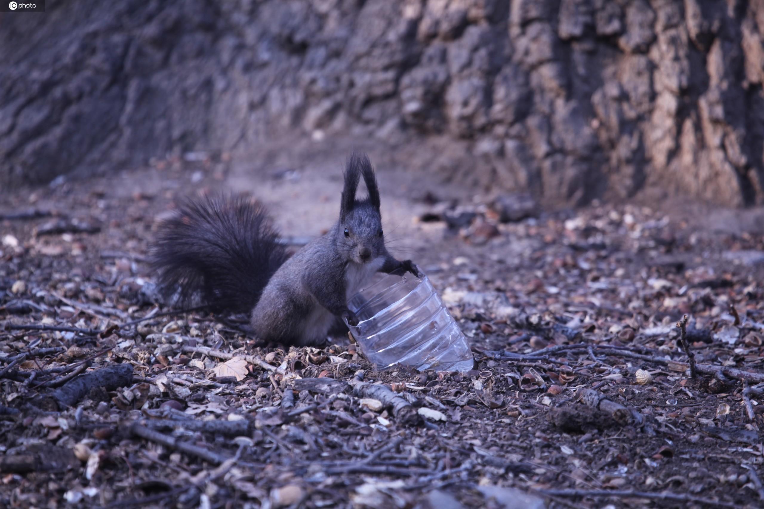 沈阳:北陵公园里小松鼠异常活跃?萌态百出
