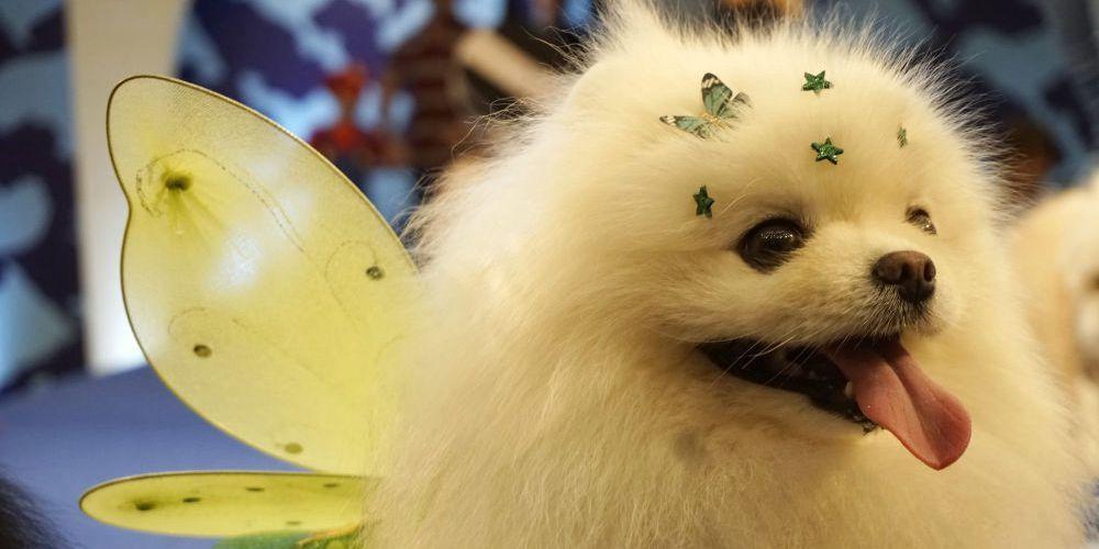 汪星人比美萌化人心 巴西圣保罗举行狗狗化妆大会