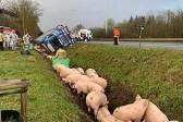 """比利时卡车侧翻 177只""""二师?#24103;背?#20081;逃跑"""