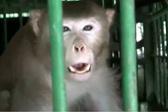 被关3年仍异常好斗 印度杀人猴将被终生囚禁