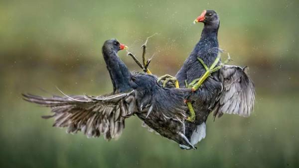 国际鸟类摄影师大赛佳作一览