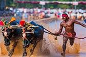泥地拉水牛跑!印度工人百米速度超博尔特