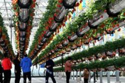 河南夏邑推动农业发展空中草莓透心甜