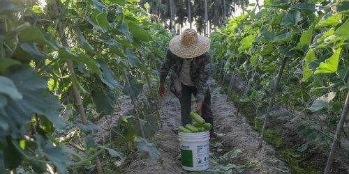 海南冬季瓜菜进入上市旺季