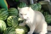 泰国猫咪面露愤怒表情为主人看守西瓜
