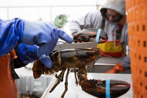 美国龙虾业期待重返中国市场